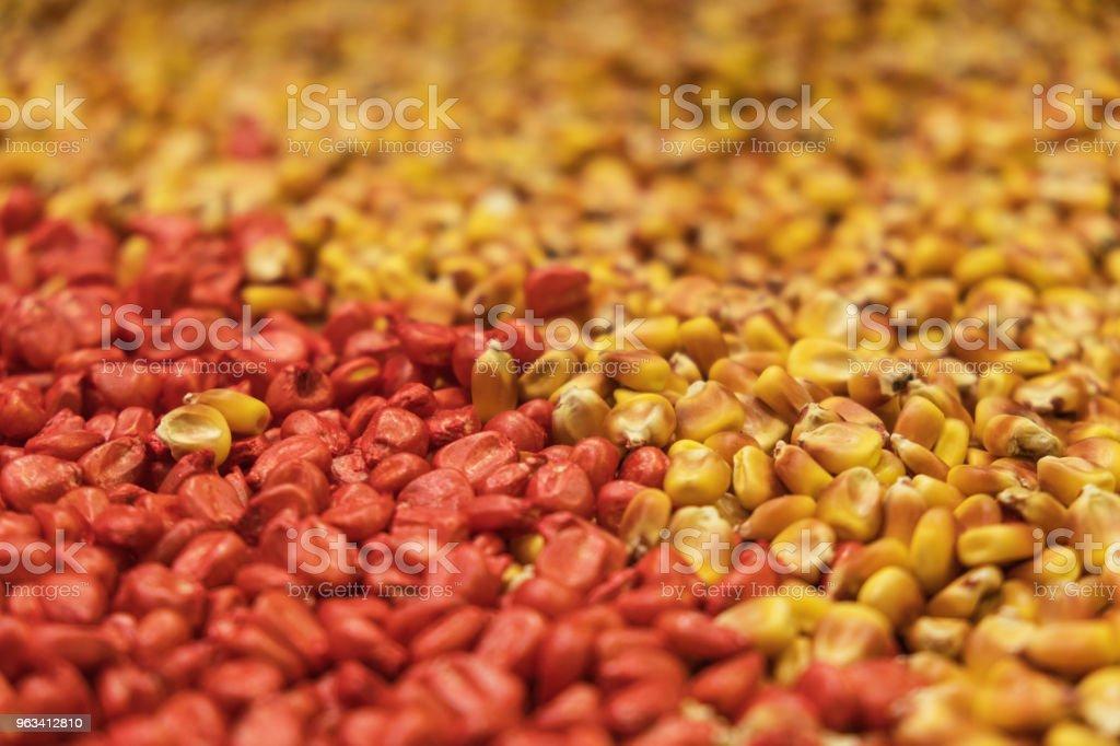 Graines de maïs jaune et rouge de près - Photo de Agriculture libre de droits