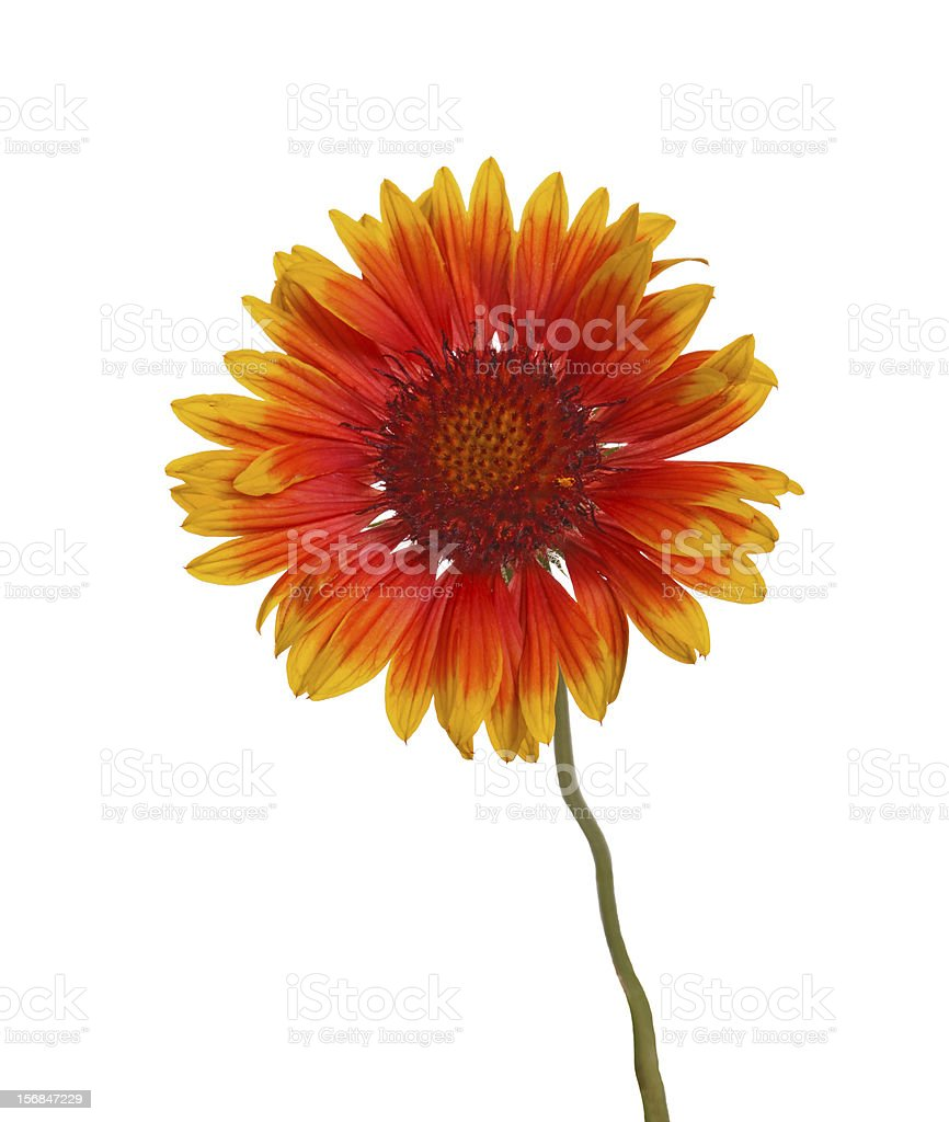 Yellow and red flower of a Gaillardia on white stock photo