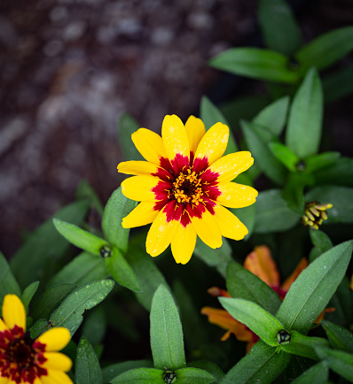 Bright, colorful flower in focus surrounded by its leaves
