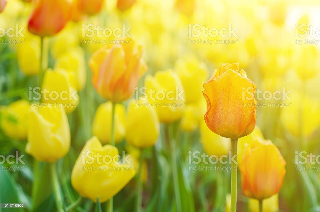 Rojo y amarillo flores - foto de stock