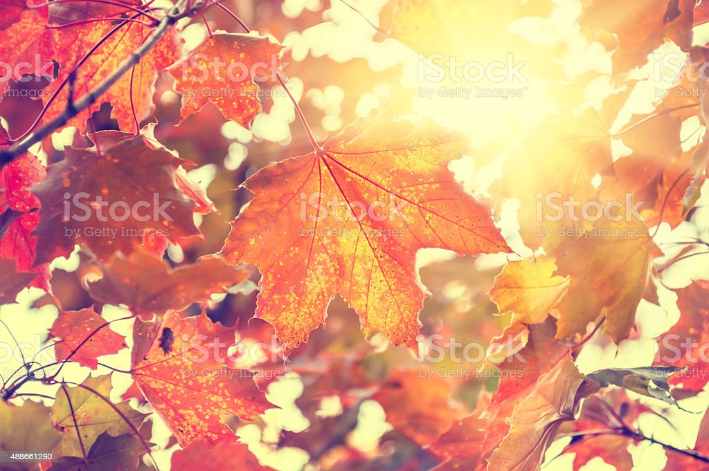 Yellow and red maple leaves in forest at sunny day. Beautiful autumn...