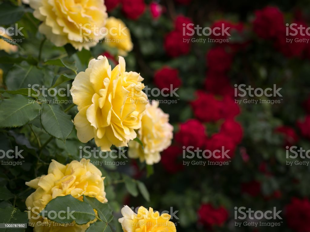 Yellow And Red Rose Bushes With Many Flowers Stock Photo More