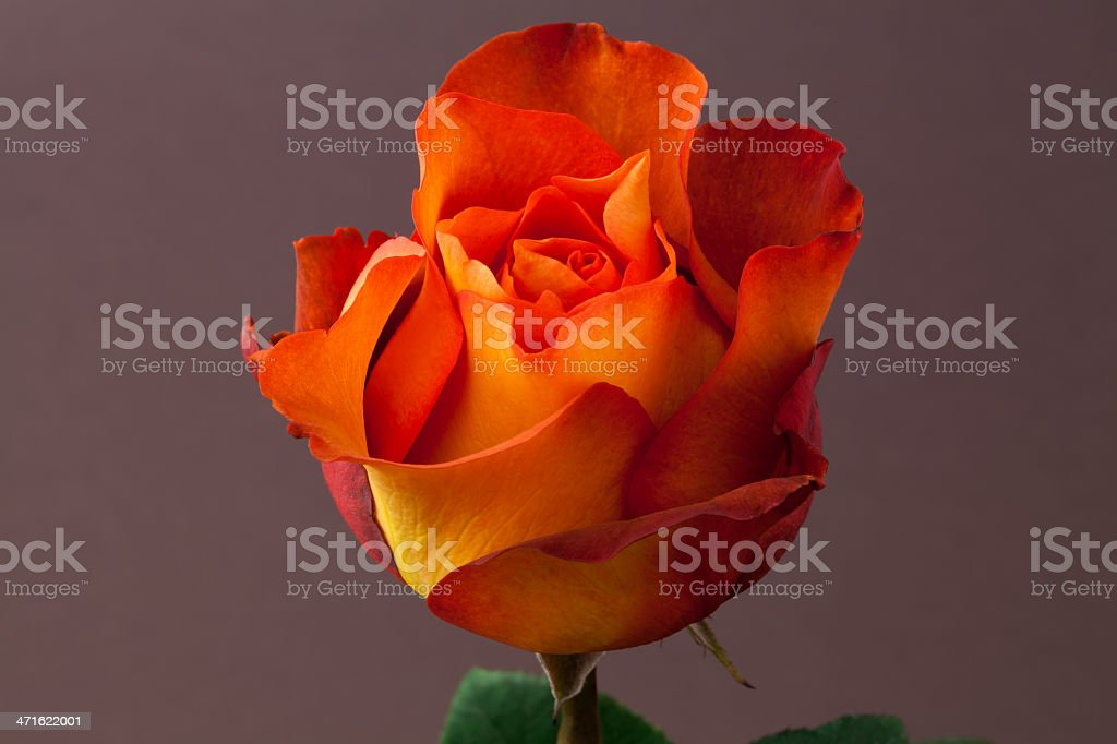 Yellow and Red Rose. royalty-free stock photo