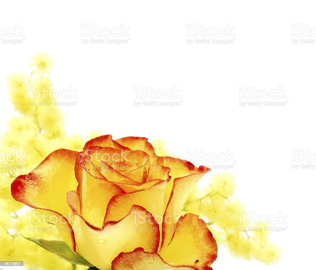 노란색 및 빨간 장미 royalty-free 스톡 사진