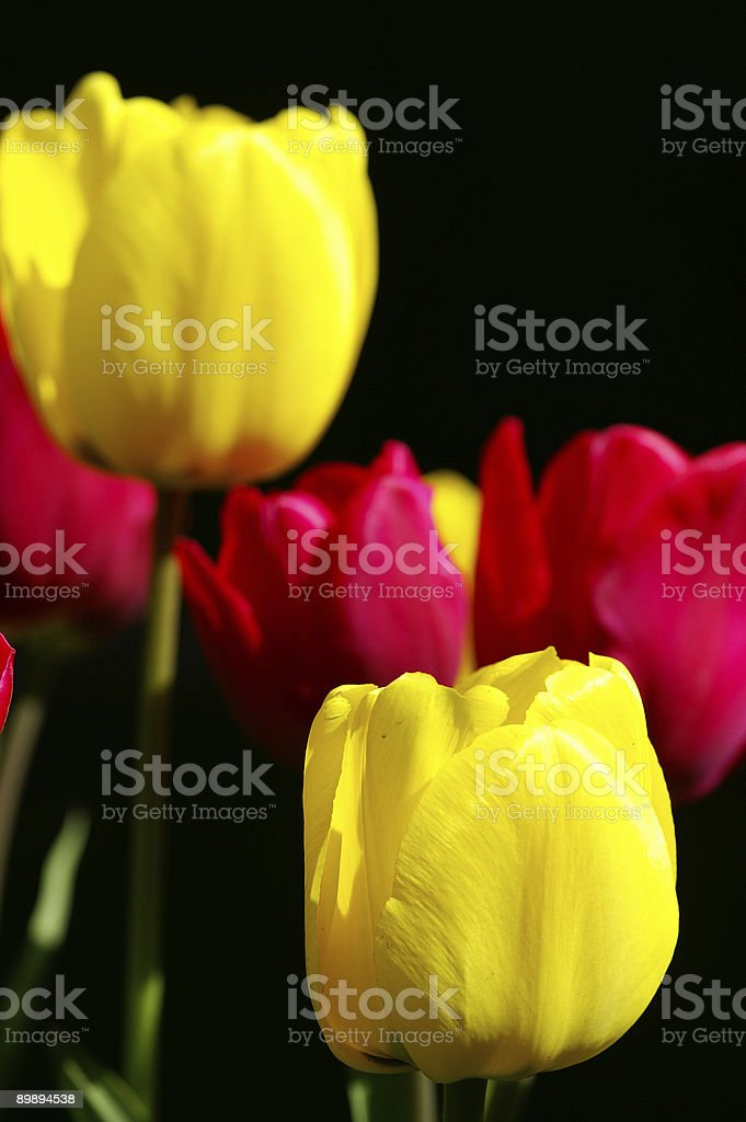 Yellow and red tulips royalty-free stock photo