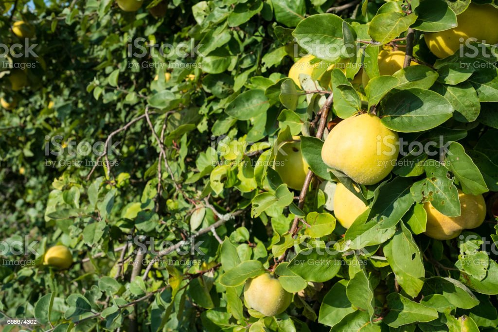 Yellow and ripe quince at a tree with green leaves stock photo