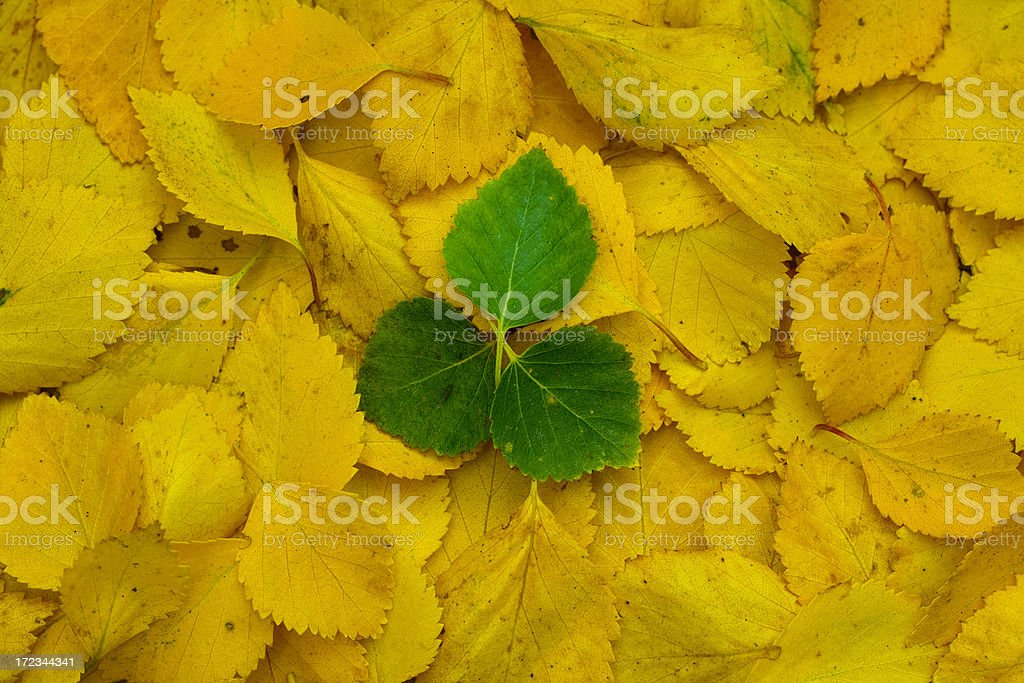 Yellow and three green leafs - autumn stock photo