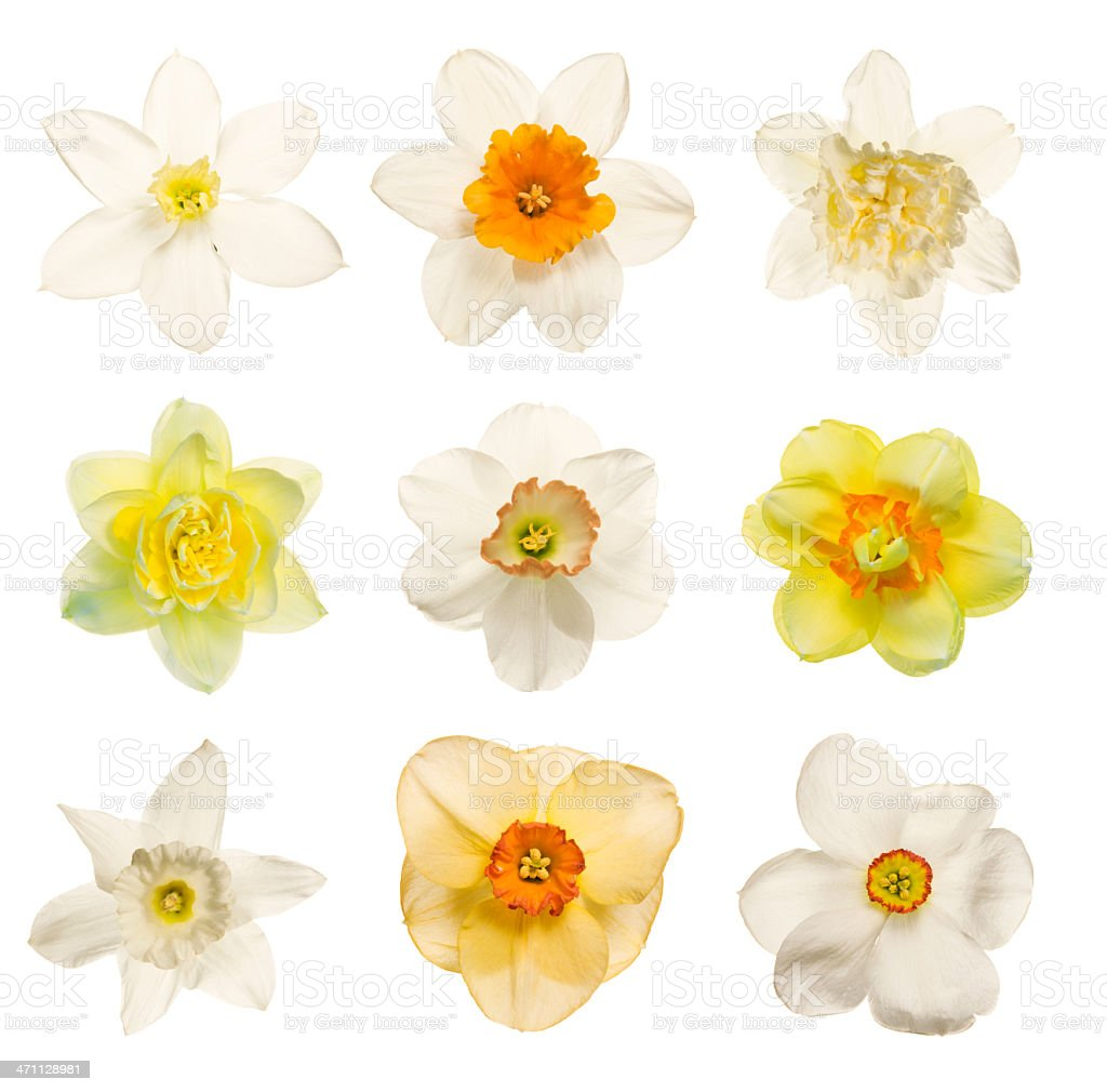 Yellow and white daffodil and narcissus flowers on white stock photo