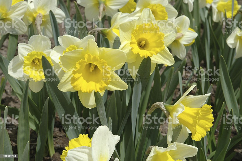Yellow and White Daffodil Flowers royalty-free stock photo