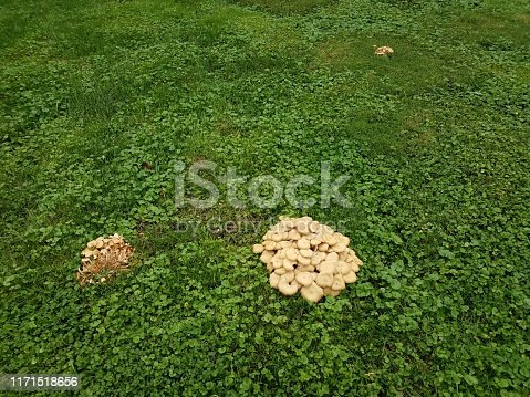 yellow and white mushrooms or fungus on green grass or lawn with weeds