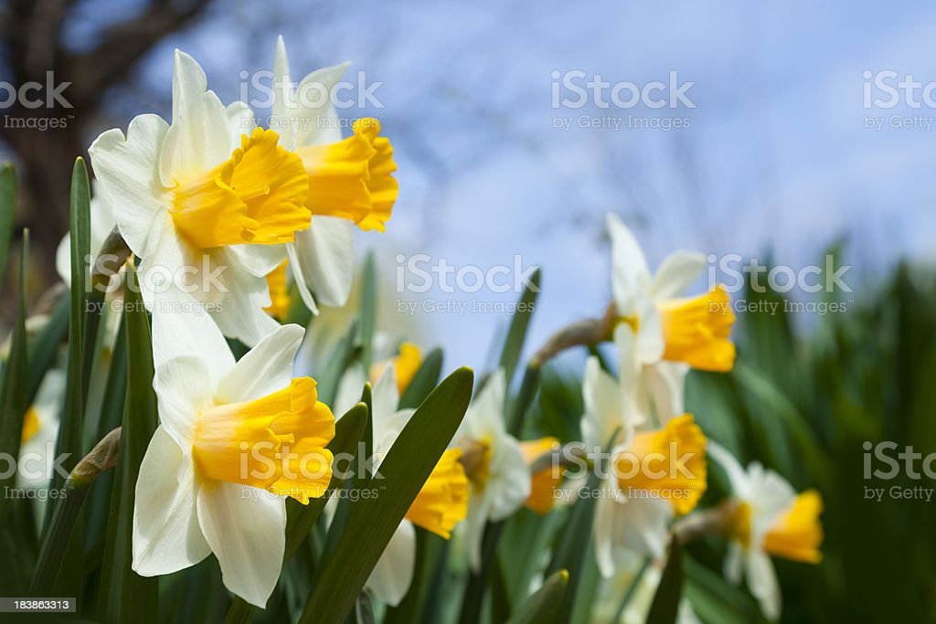Yellow and White Narcissus Flowers Point Toward the Rising Sun royalty-free stock photo