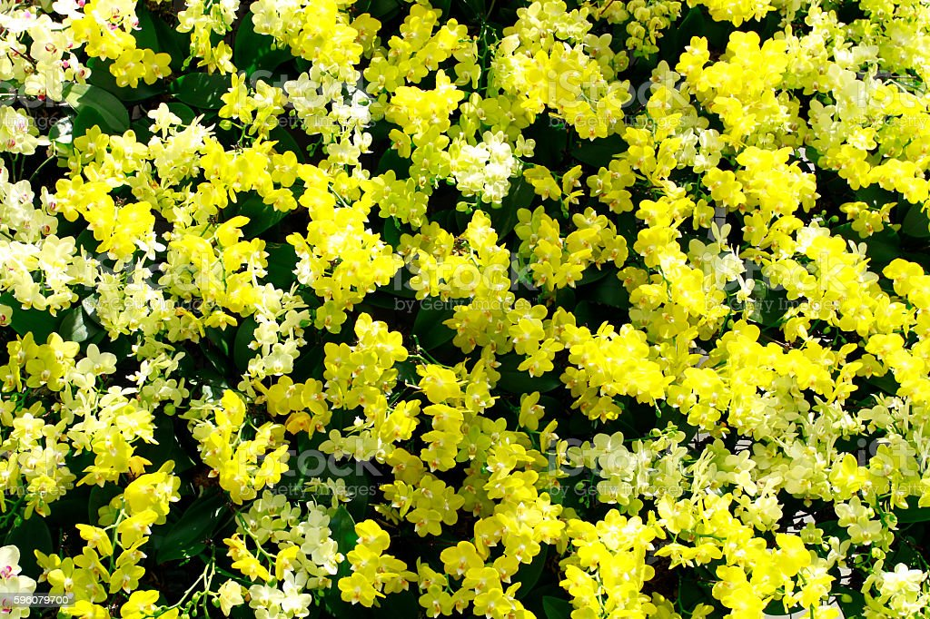 Yellow and white orchids royalty-free stock photo