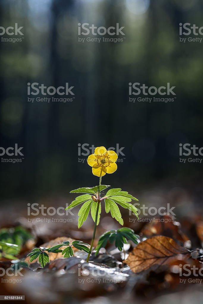 Yellow anemone flower. stock photo