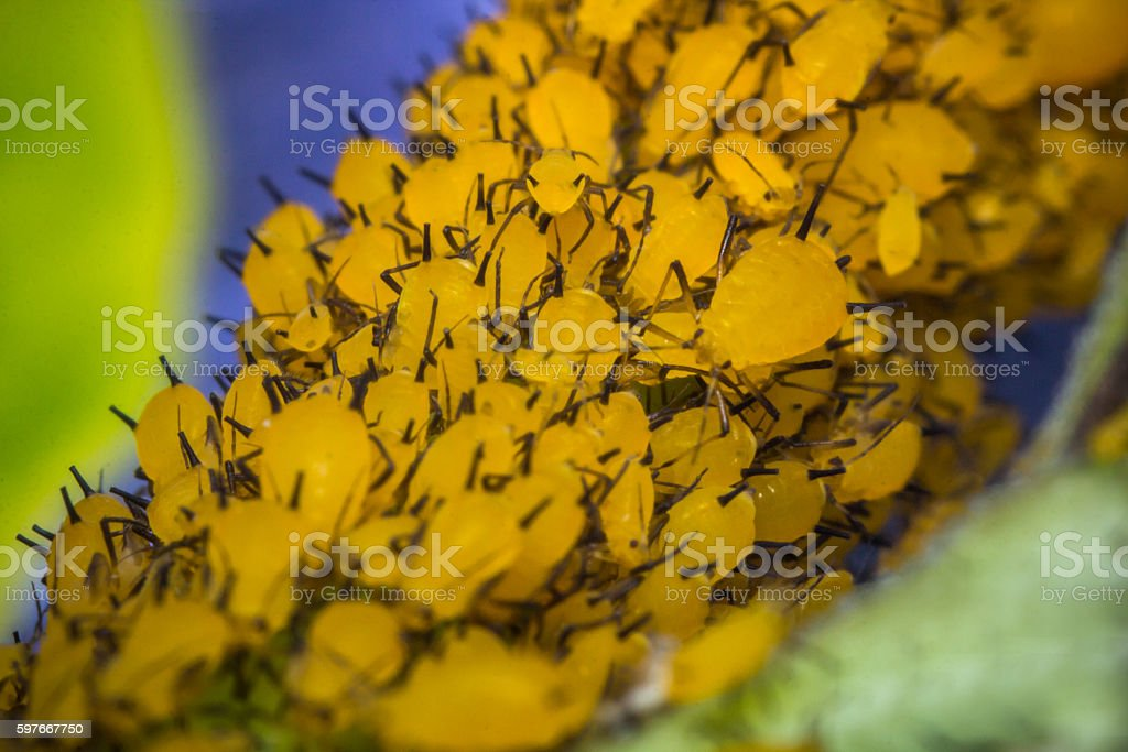 Yellow Aphids Macro stock photo