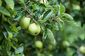 closeup of yellow apple in apple tree in a garden