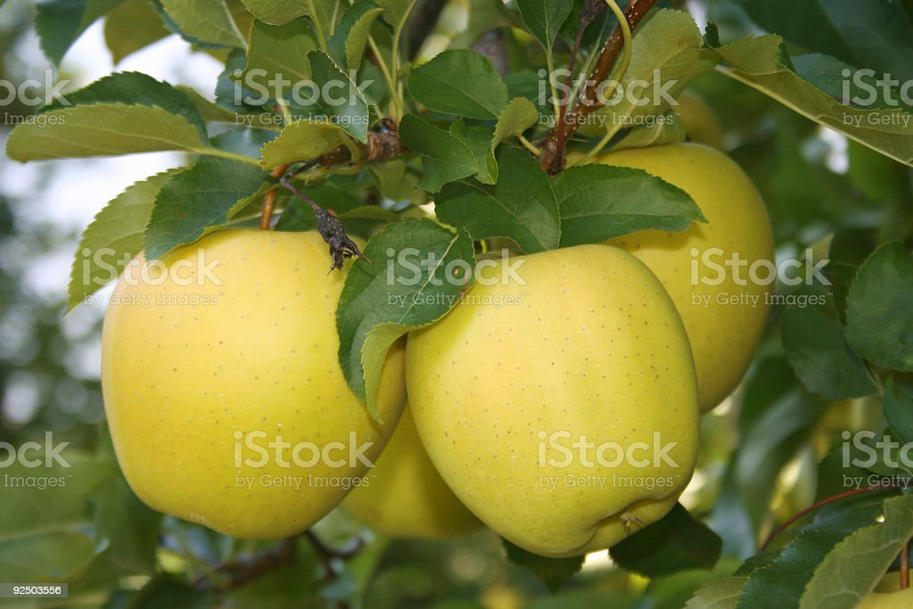 Yellow apple on tree royalty-free stock photo