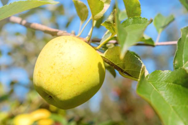pomme jaune dans le verger, arbre d'apple, délicieux d'or - golden photos et images de collection