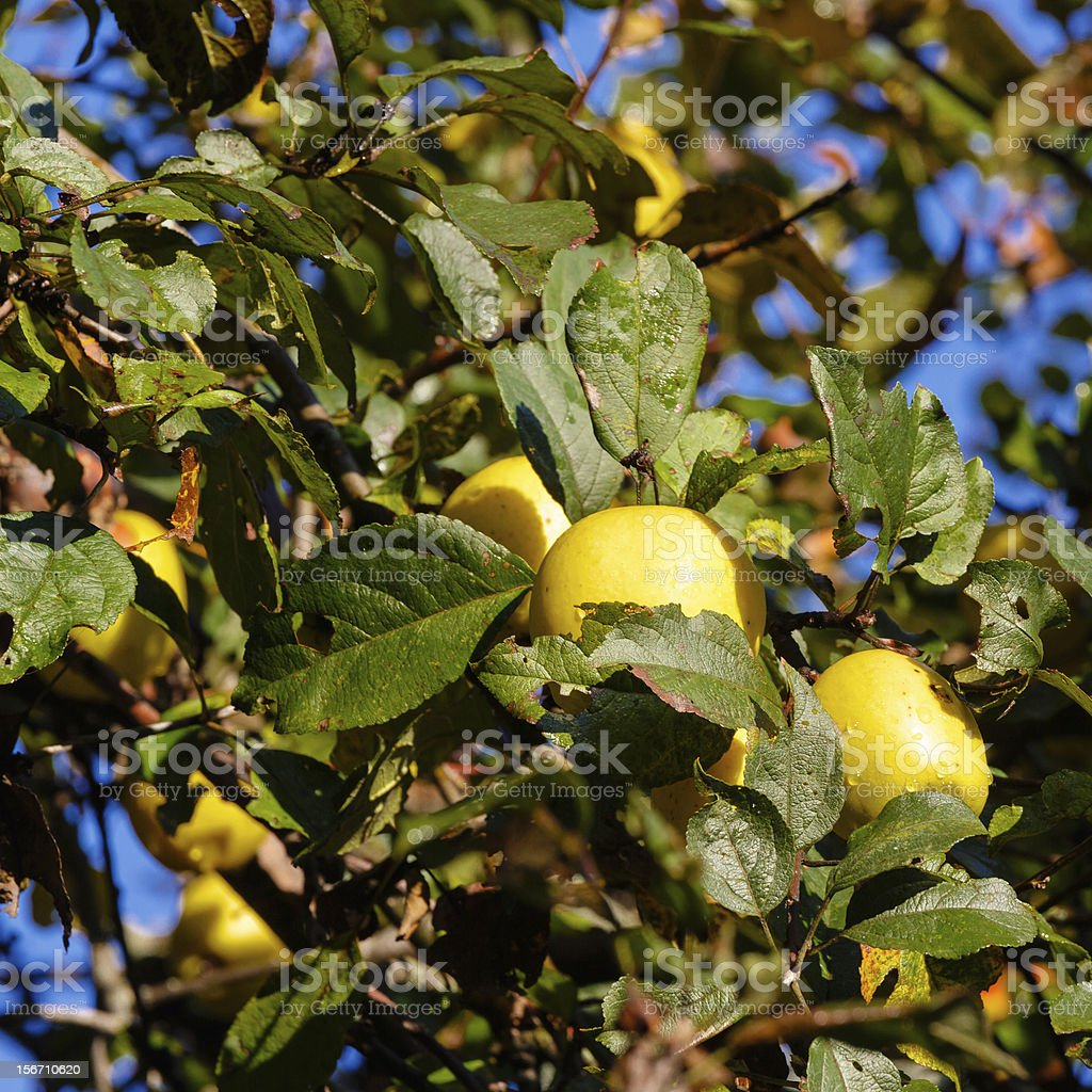 Yellow apples royalty-free stock photo