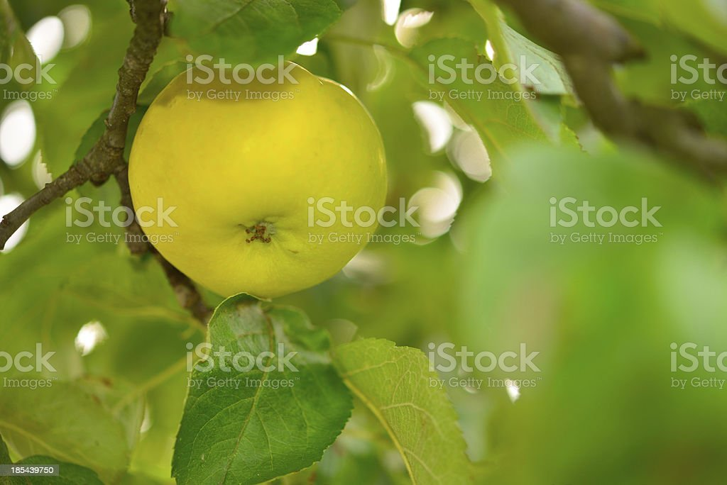 yellow apples royalty-free stock photo