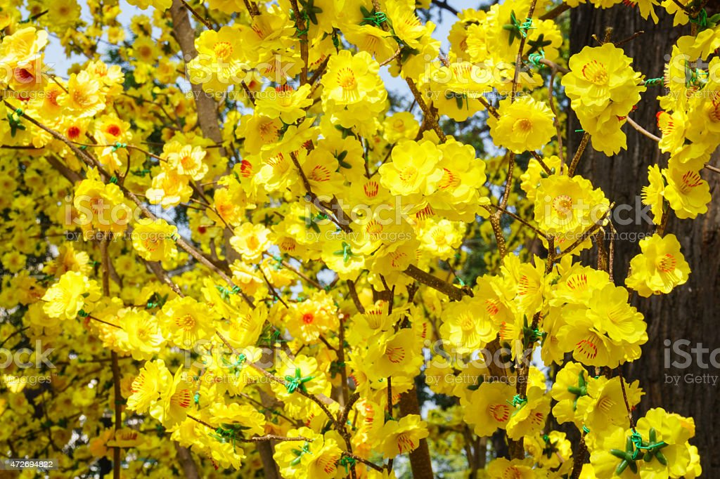 Yellow apricot blossom in springtime stock photo