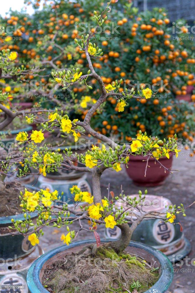 Vacances du nouvel an lunaire vietnamien jaune abricot fleur Nord - Photo