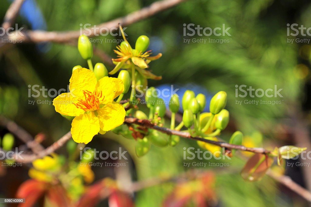 Yellow apricot flower in the spring time royalty-free stock photo