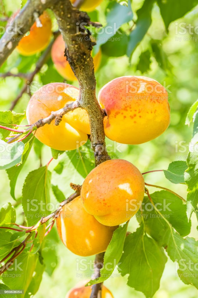 Yellow apricots on a branch among green foliage, close-up - Royalty-free Agriculture Stock Photo