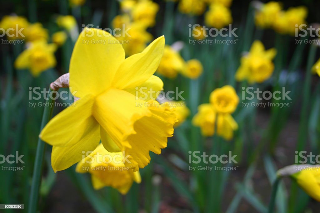 Yellow apringtime daffodil flowers in bloom royalty-free stock photo