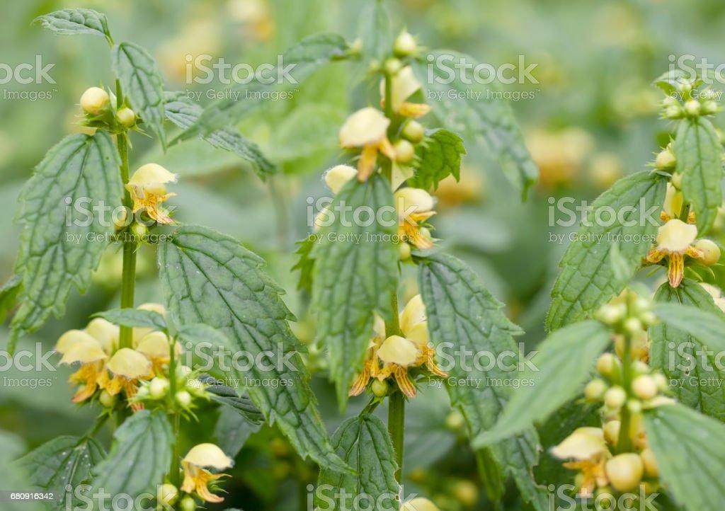 Yellow Archangel (Lamium galeobdolon) royalty-free stock photo
