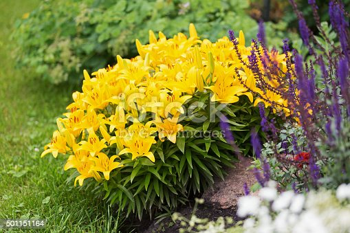 Vibrant yellow Asiatic Lilies and purple Salvia flowers in a flower garden.