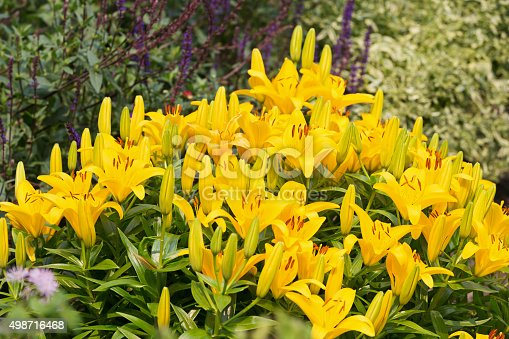 Vibrant yellow Asiatic Lilies in a flower garden.