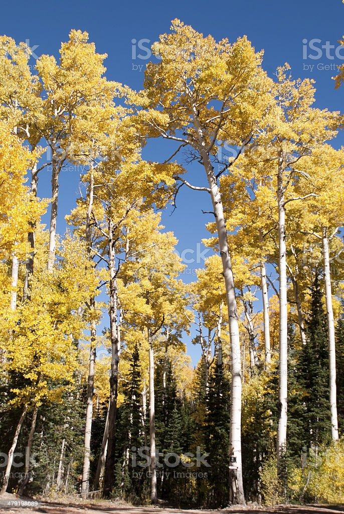 Yellow Aspen and Evergreens near Bryan Head Resort Utah stock photo