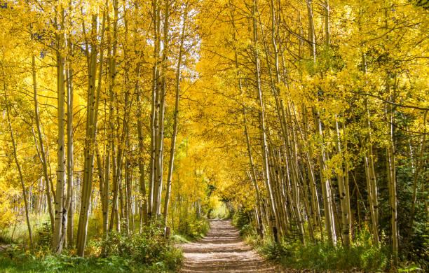 yellow aspen leaves in estes park - estes park foto e immagini stock