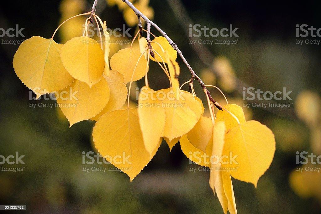 yellow aspen leaves on branch stock photo