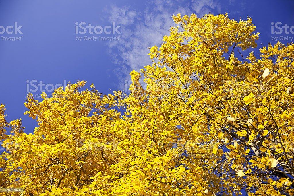 Yellow aspen tree and blue sky in fall. royalty-free stock photo
