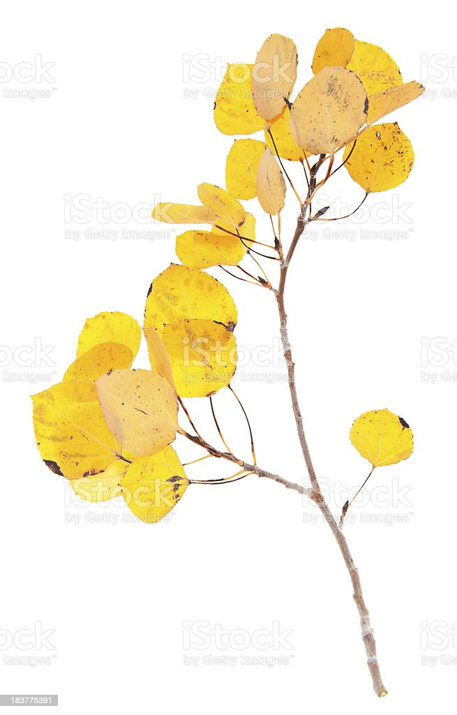 Yellow Aspen Twigs royalty-free stock photo