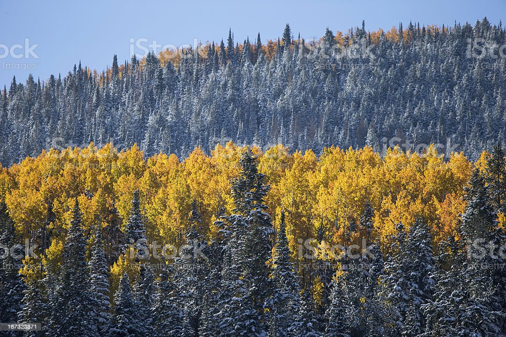 Yellow aspen's in a snow filled pine forest stock photo