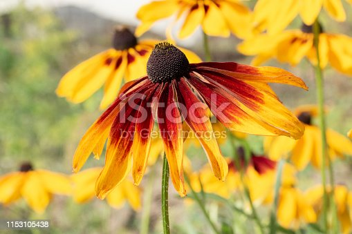 Yellow aster garden flowers Rudbeckia hirta, perennial asteraceae decorative garden flowers. Yellow flower with long petals and a dark middle