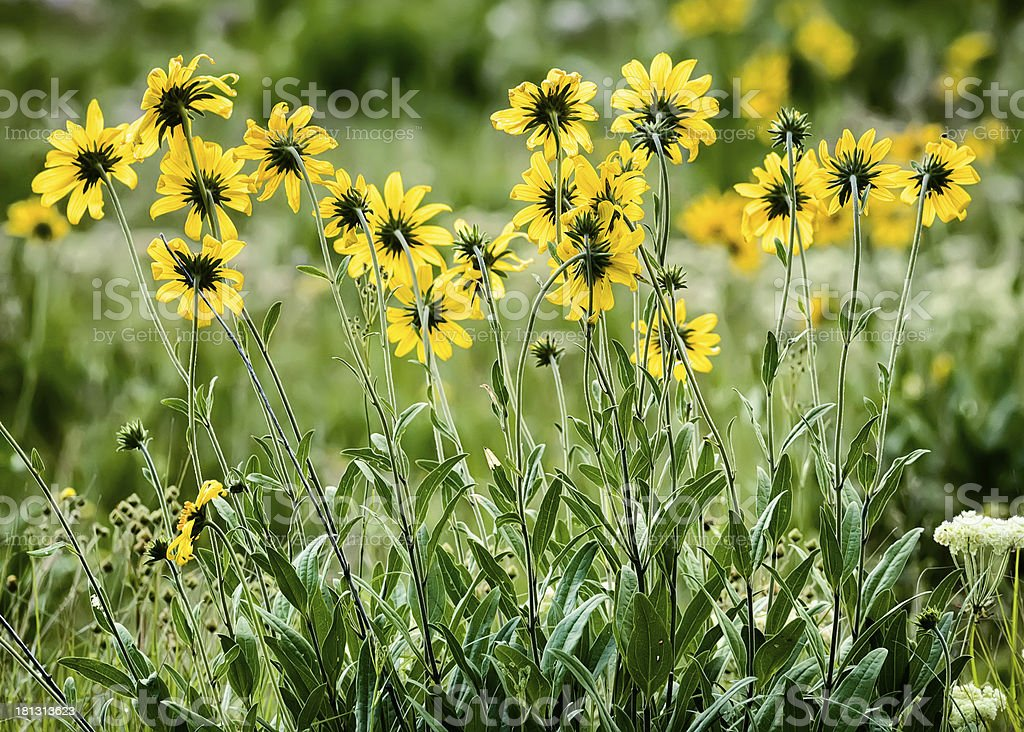 Yellow Asters in the Tetons royalty-free stock photo