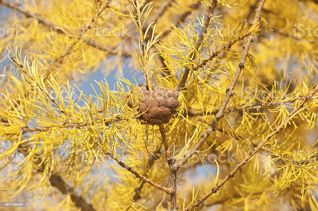 Alerce de otoño amarillo en el cielo azul - foto de stock