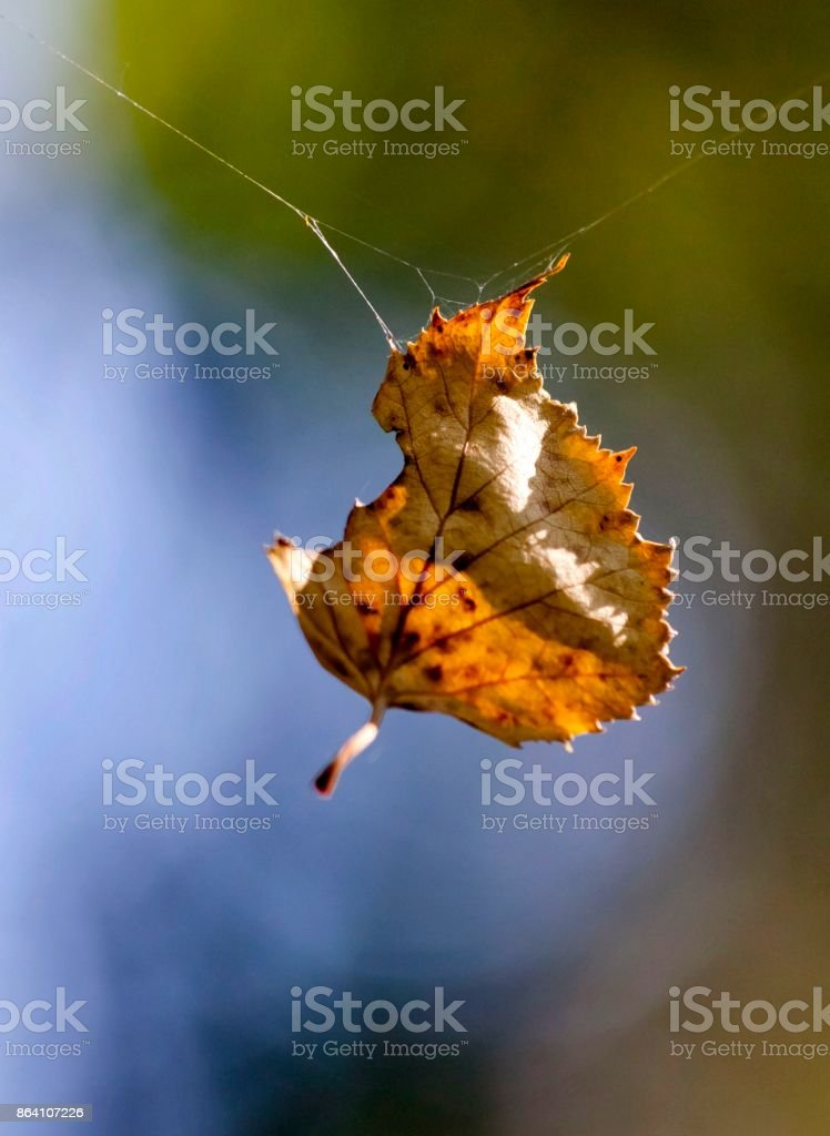yellow autumn leaf hanging on a spider web royalty-free stock photo