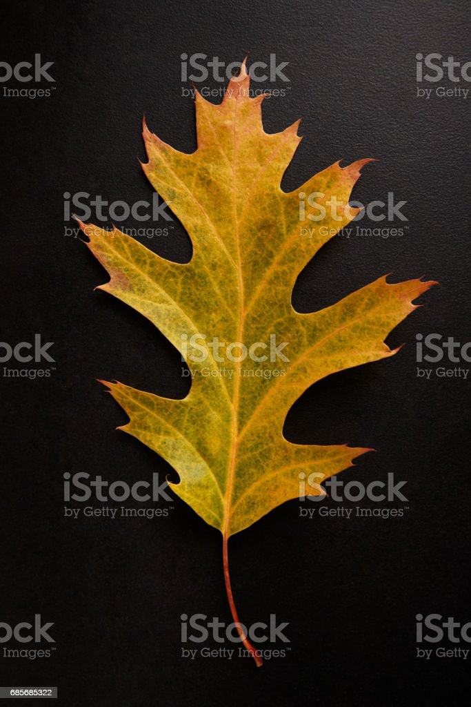 Yellow Autumn leaf isolated on a black background, vertical Lizenzfreies stock-foto
