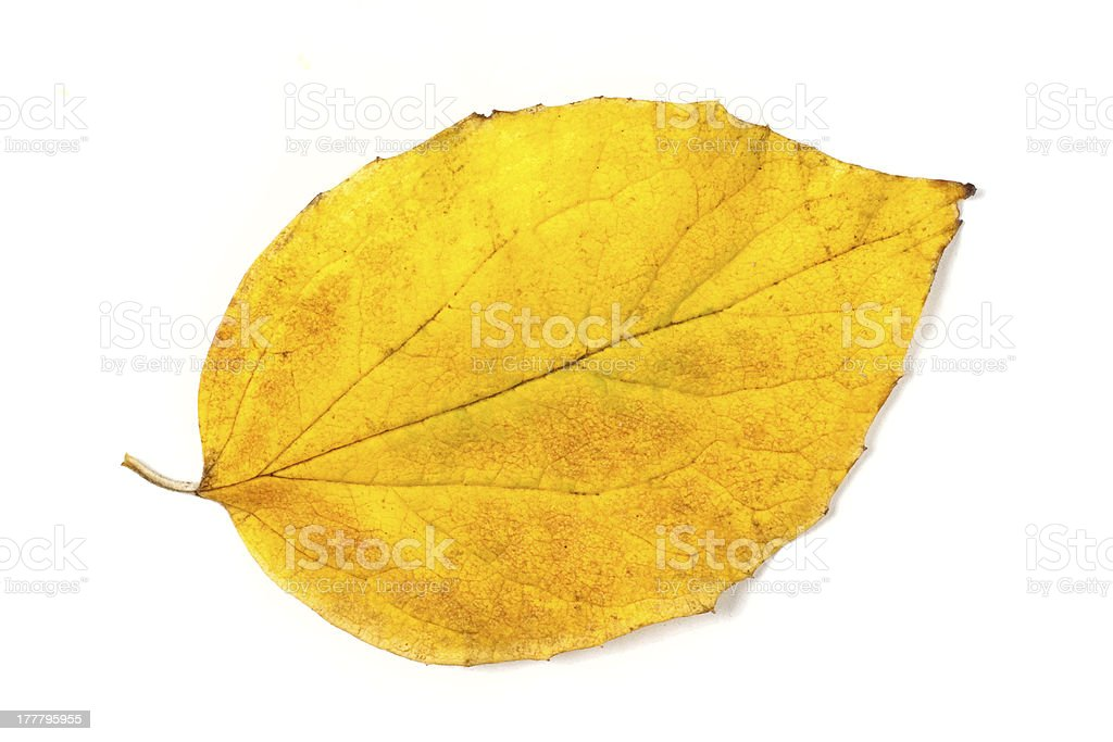 Yellow autumn leaf isolated on white background royalty-free stock photo