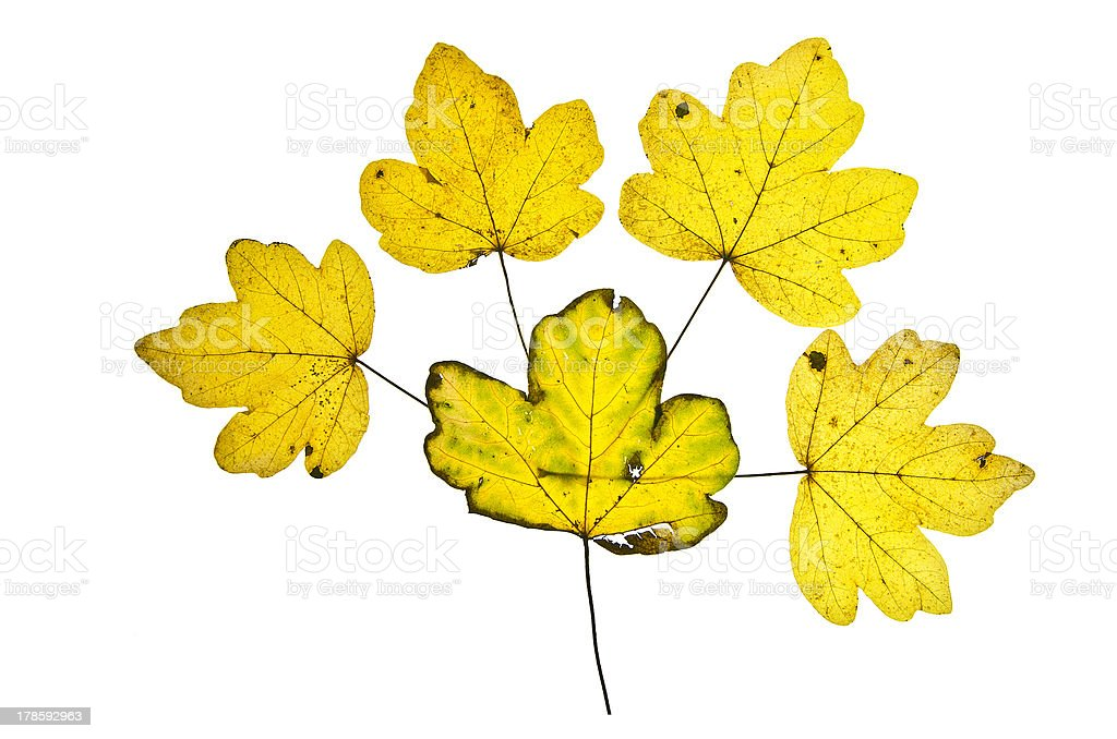 Yellow Autumn Leaf Mosaic royalty-free stock photo