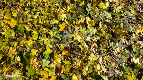 istock Yellow autumn leaves background. Outdoor. 1167187078