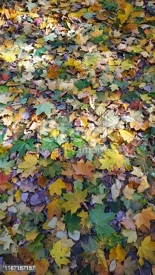 istock Yellow autumn leaves background. Outdoor. 1167187157