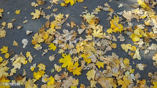 istock Yellow autumn leaves background. Outdoor. 1167187248