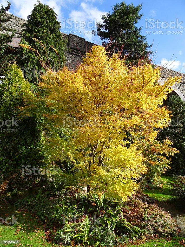 Acero Blu Giapponese foglie di autunno giallo corteccia corallo acero