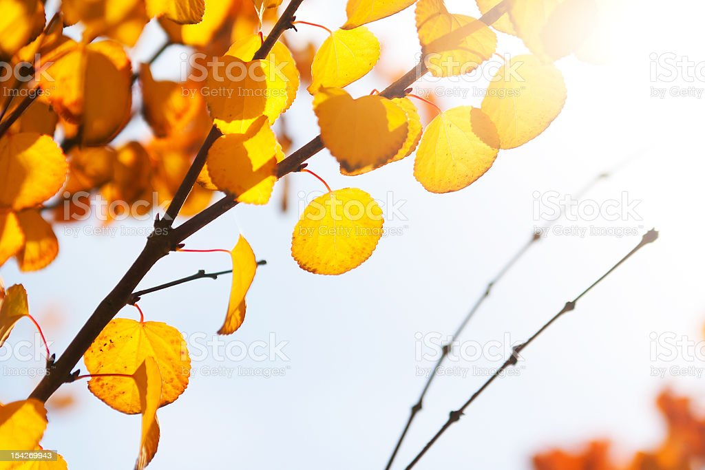 Yellow autumn leaves in the sunlight royalty-free stock photo