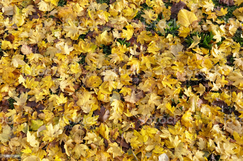 Yellow autumn leaves of field maple Acer campestre stock photo